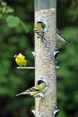 American-Goldfinches-on-Tube-Feeder