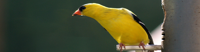 banner - american goldfinch at feeder