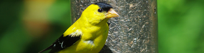 banner - american goldfinch at nyjer bird feeder