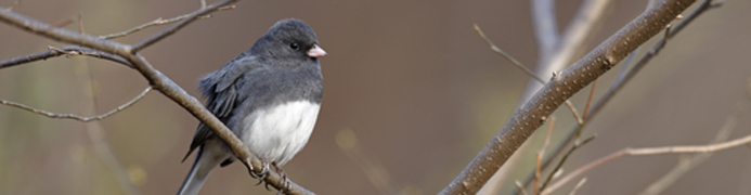 banner - dark-eyed junco 2