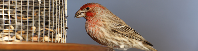 banner - house finch 2