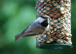 Chickadee-on-Wire-Feeder