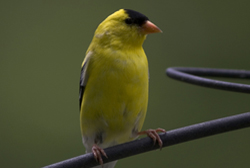 american goldfinch profile