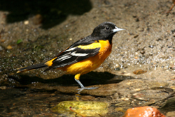 baltimore oriole profile