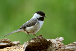 black-capped chickadee profile