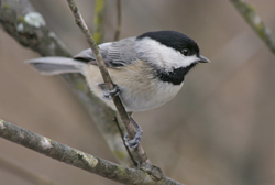 carolina chickadee profile