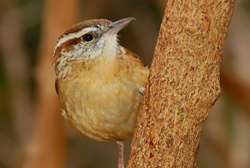carolina wren profile