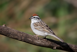 chipping sparrow profile