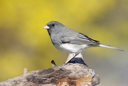 dark-eyed junco profile