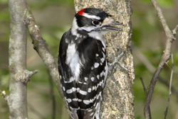 downy woodpecker profile