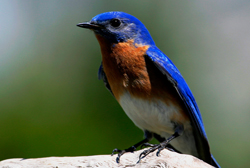 eastern bluebird profile