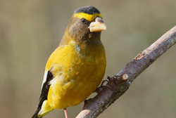 evening grosbeak profile