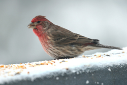 house finch profile