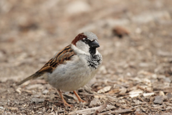 house sparrow profile