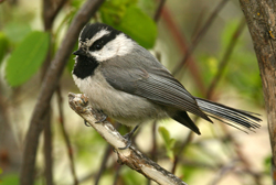 mountain chickadee profile