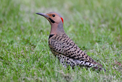 northern flicker profile