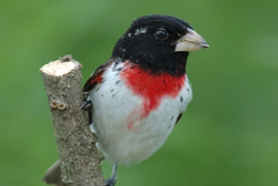 rose-breasted grosbeak profile