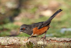 spotted towhee profile