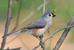 tufted titmouse profile