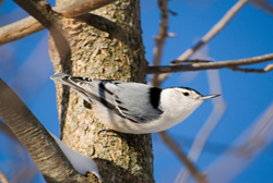 white-breasted nuthatch profile