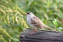 white-crowned sparrow profile