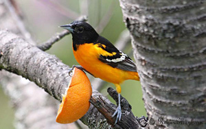 baltimore-oriole