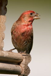 house finch at hopper
