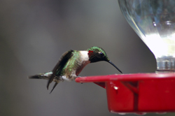 hummingbird drinking from feeder