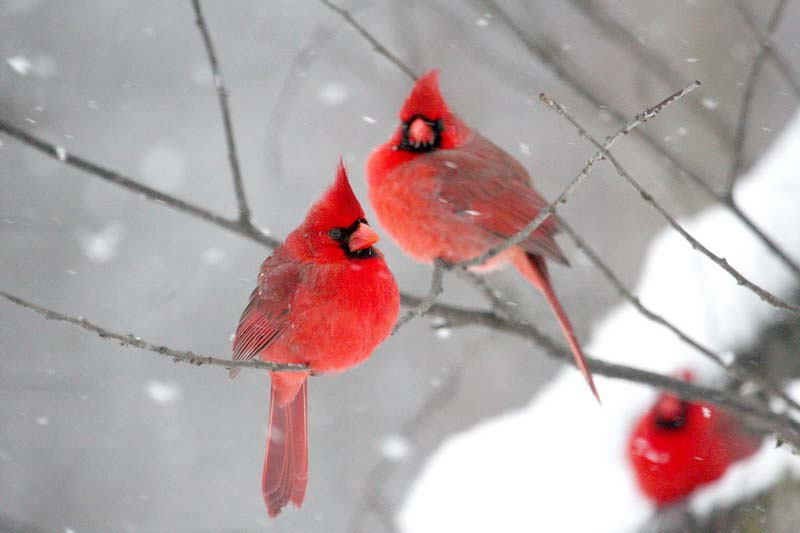 northern cardinals in snow